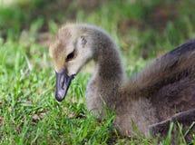 加拿大鹅一只逗人喜爱的小鸡的图象吃草的 图库摄影