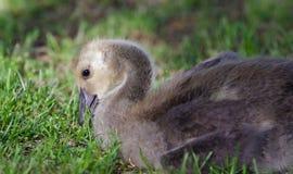 加拿大鹅一只逗人喜爱的小鸡的图象吃草的 免版税图库摄影