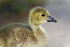 加拿大鹅一只逗人喜爱的小鸡的图象  库存照片