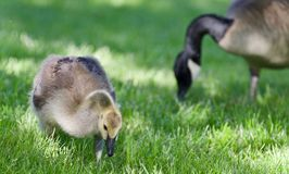 加拿大鹅一只逗人喜爱的小鸡的照片吃草的 图库摄影