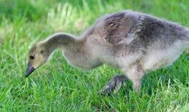 加拿大鹅一只逗人喜爱的小鸡的被隔绝的图象  免版税库存图片