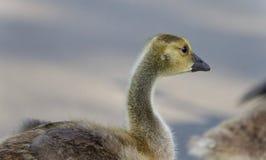 加拿大鹅一只逗人喜爱的小鸡的被隔绝的照片  库存图片