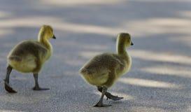 加拿大鹅两只逗人喜爱的小鸡照片  库存图片