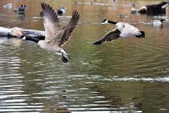 加拿大鹅从水离开 免版税库存照片