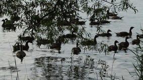 加拿大鹅剪影游泳在日落的 股票录像