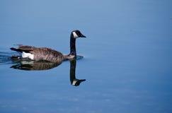 加拿大鹅反射 库存照片