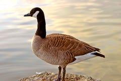 加拿大鹅反映日落 免版税库存图片