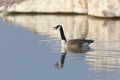 加拿大鹅叫在有休伦湖冰后面的早期的春天 免版税图库摄影