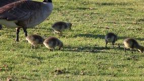 加拿大鹅和幼鹅 股票录像