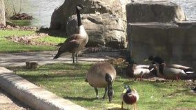 加拿大鹅和婴孩 影视素材