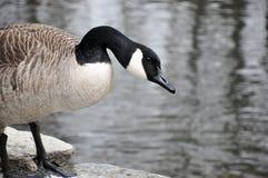 加拿大鹅在小河前面站立 图库摄影