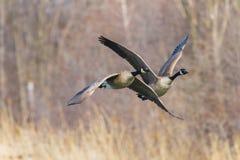 加拿大鹅在春天的离开一个湖 免版税库存照片
