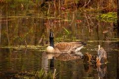 加拿大鹅在春天 免版税库存图片