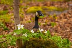 加拿大鹅在春天 库存图片