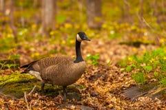 加拿大鹅在春天 免版税库存照片