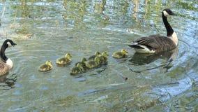 加拿大鹅在池塘的家庭游泳 股票视频