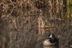 加拿大鹅在沼泽地 免版税库存图片