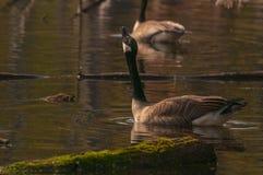 加拿大鹅在沼泽地 库存图片