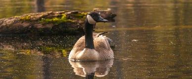 加拿大鹅在沼泽地 免版税图库摄影