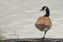 加拿大鹅在注册站立一条腿 库存照片