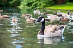 加拿大鹅在湖 免版税库存照片