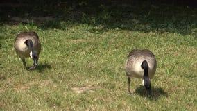 加拿大鹅在草甸吃草 股票录像