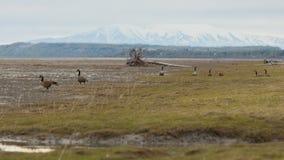 加拿大鹅在阿拉斯加 免版税库存图片