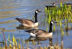 加拿大鹅安大略渥太华 免版税库存照片