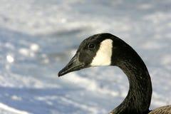 加拿大鹅安大略渥太华 库存照片