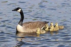 加拿大鹅家庭小组 图库摄影