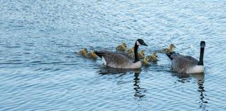 加拿大鹅家庭游泳 免版税库存照片