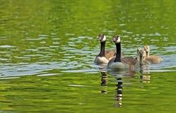加拿大鹅家庭特写镜头游泳 库存照片