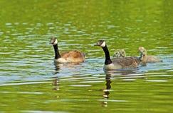 加拿大鹅家庭特写镜头游泳 免版税库存图片