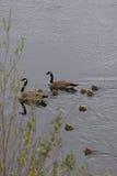 加拿大鹅家庭用八只幼鹅 库存照片