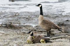 加拿大鹅家庭 免版税库存图片