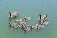 加拿大鹅家庭 免版税图库摄影