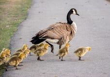 加拿大鹅家庭 库存图片
