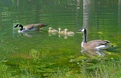加拿大鹅对游泳用幼鹅 图库摄影