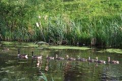 加拿大鹅小的逗人喜爱的春天 库存照片