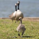 加拿大鹅小鸡和父母 免版税图库摄影