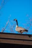 加拿大鹅屋顶 库存照片