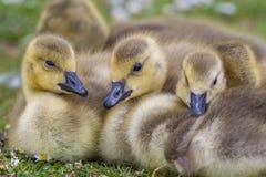 加拿大鹅幼鹅关闭  免版税图库摄影