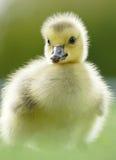 加拿大鹅戈斯林-黑雁canadensis 免版税库存照片