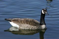 加拿大鹅放松了 免版税图库摄影