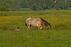 加拿大鹅比利时草稿horseand coulpe在有后边黄色花和树的一个草甸 库存图片