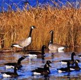 加拿大鹅沼泽池塘数 图库摄影