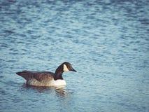 加拿大鹅游泳在早晨太阳 免版税库存照片