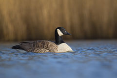 加拿大鹅游泳在湖 免版税库存图片