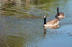 加拿大鹅游泳夫妇  免版税库存图片