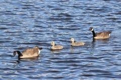 加拿大鹅游泳家庭 免版税库存照片